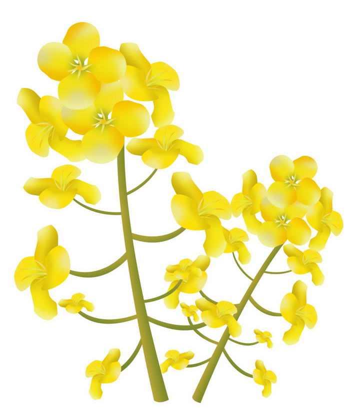 手绘风格的油菜花装饰png图片