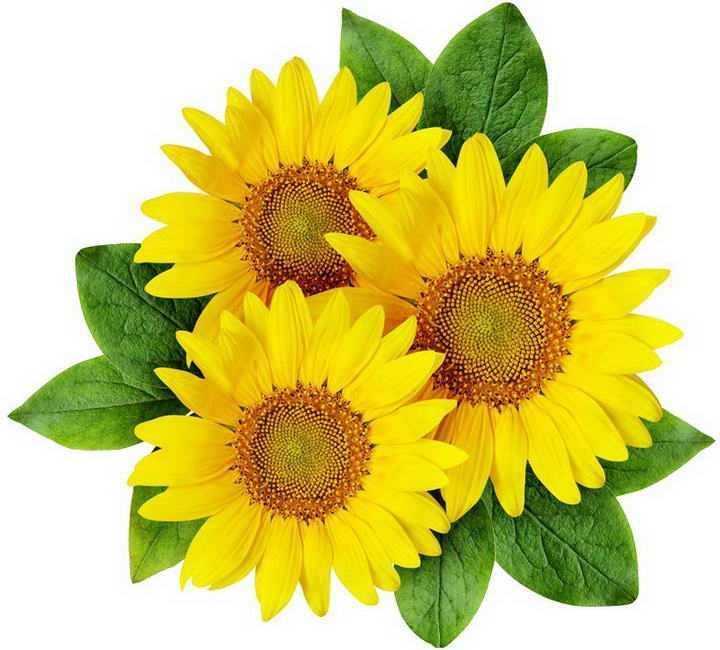 三朵带绿叶的向日葵花朵图片免抠素材