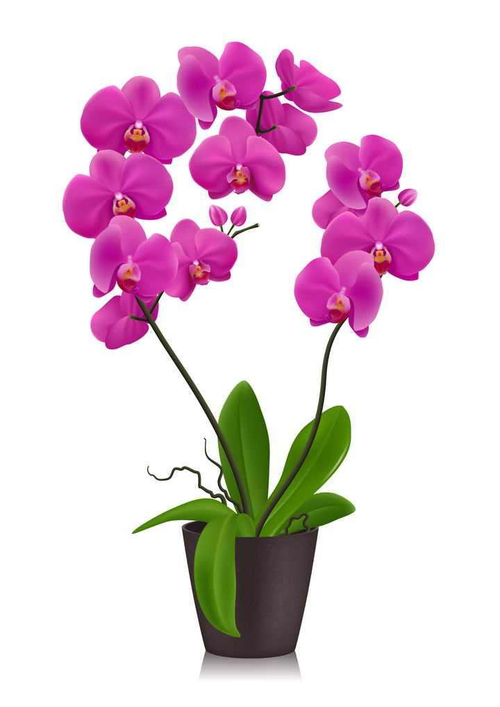 花盆里的兰花花卉图片免抠素材