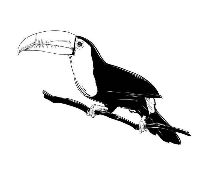 黑白手绘风格巨嘴鸟png鸟类图片免抠素材