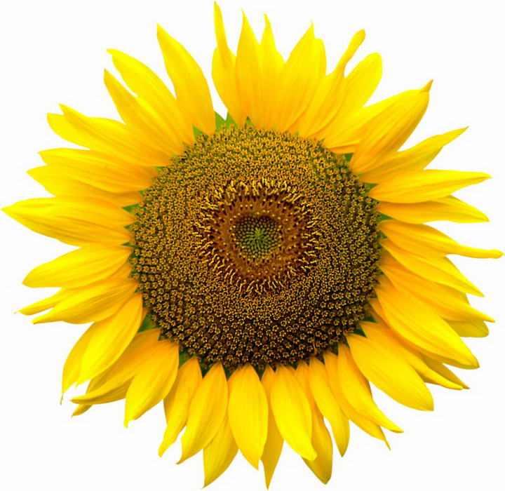 一朵盛开的向日葵花朵图片免抠素材