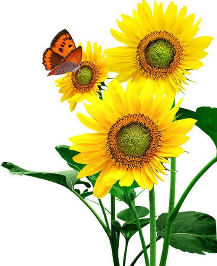 蝴蝶和向日葵图片免抠素材