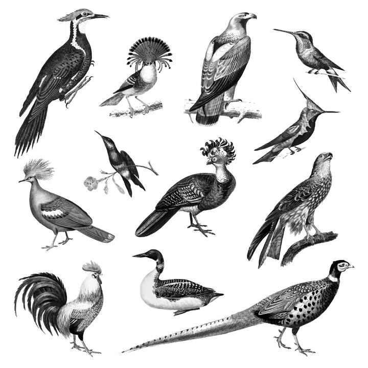 12款手绘黑白风格的鸟儿野生动物图片免抠素材
