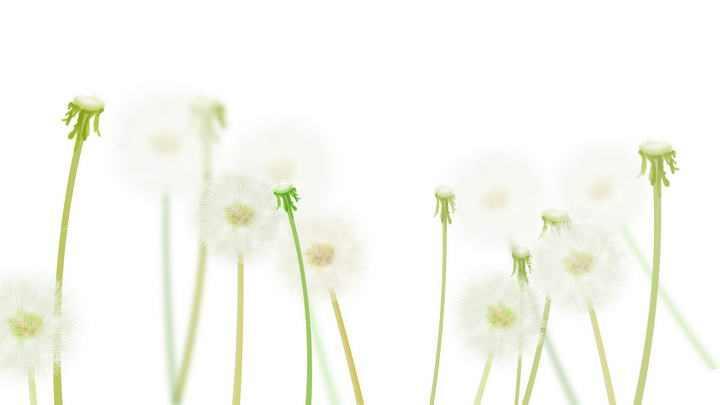 淡绿色唯美风格的蒲公英图片免抠素材
