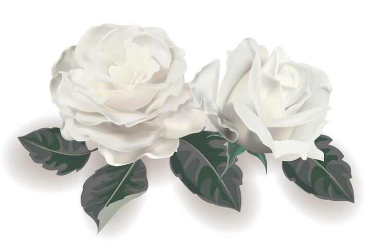 白色玫瑰花花卉花朵图片免扣素材