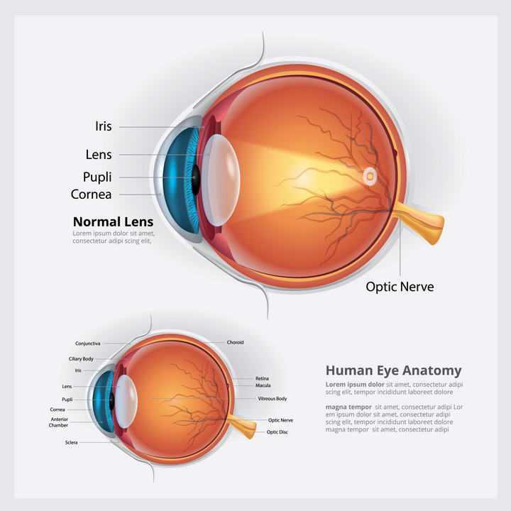 医学用的眼睛眼球结构解剖图和视力成像示意图免扣图片素材