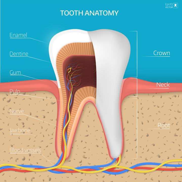 牙齿结构解剖和神经血管示意图图片免抠素材