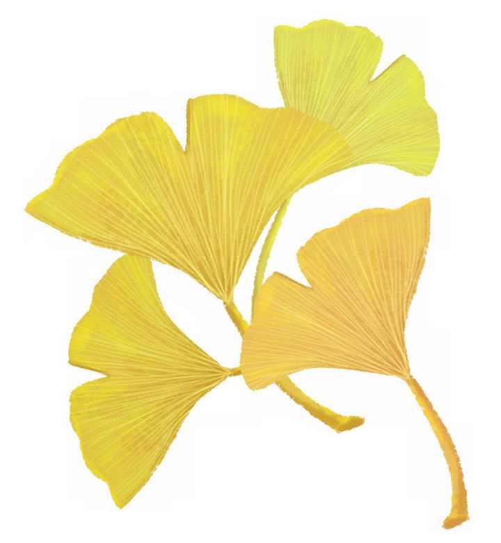 四片秋天发黄的银杏叶免抠PNG图片素材