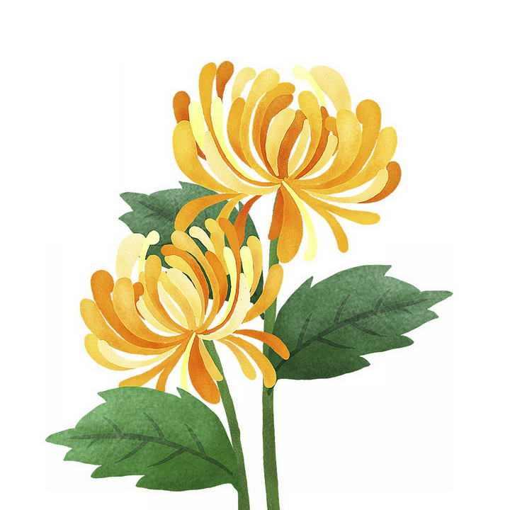 彩色手绘水彩画风格菊花鲜花花卉png免抠图片