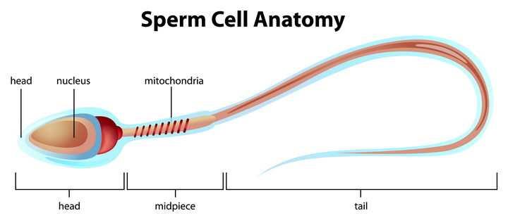 精子细胞结构解剖图图片免抠素材