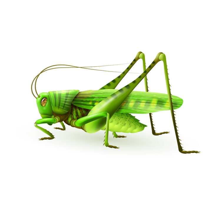 逼真的绿色蚂蚱昆虫免抠矢量图片素材