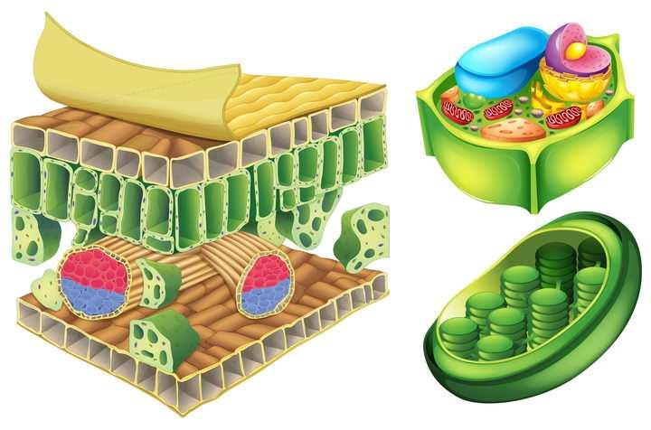 叶绿素植物细胞结构解剖图中学生物教学配图图片免抠素材