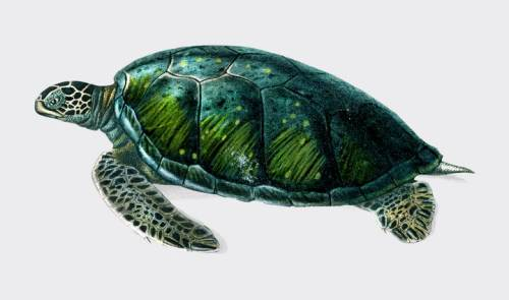 绿色海龟绿毛龟海洋动物图片免抠素材