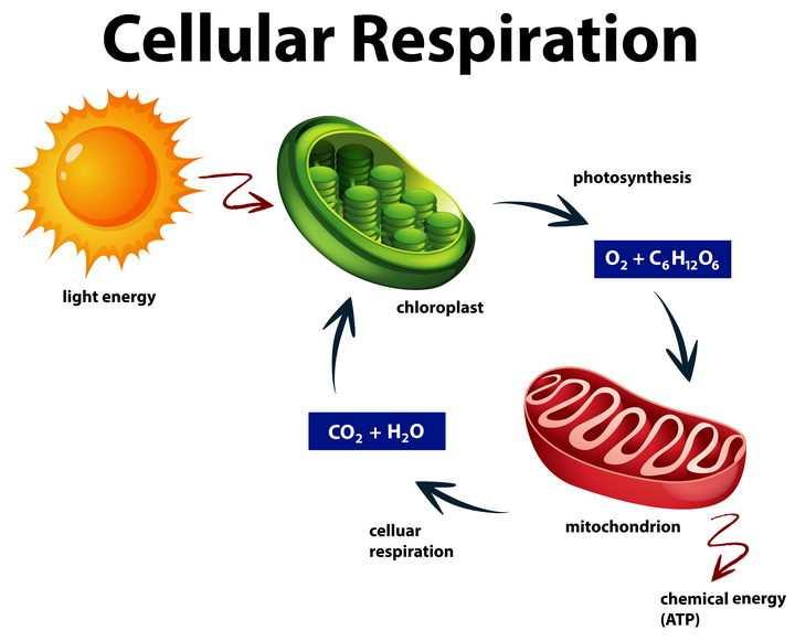 光合作用太阳光被植物细胞叶绿素转换成氧气然后被动物细胞吸收转化为二氧化碳循环图图片免抠素材