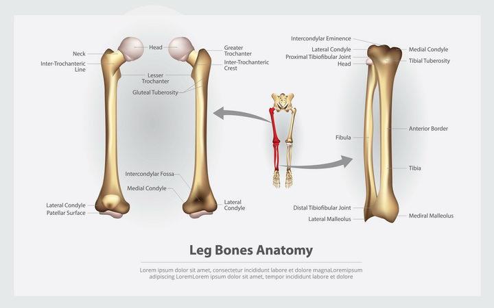 大腿骨人体骨骼结构图图片免抠素材 健康医疗-第1张