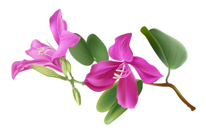 枝头上的玫红色红花羊蹄甲花朵花卉图片免抠矢量素材