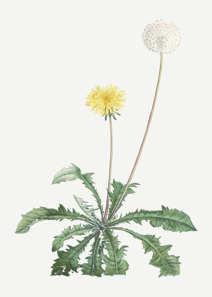 彩绘风格一株植物上的蒲公英花朵和绒球图片免抠矢量素材