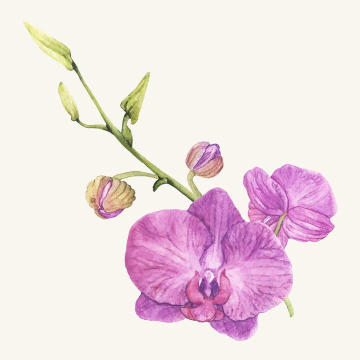 水彩画风格枝头上的紫色蝴蝶兰花朵花卉图片免抠矢量素材 生物自然-第1张