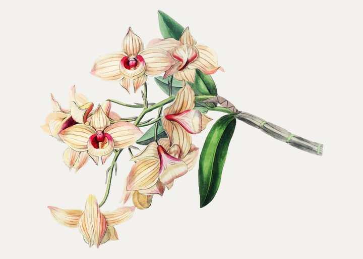 逼真的水彩画风格蝴蝶兰花朵花卉图片免抠矢量素材