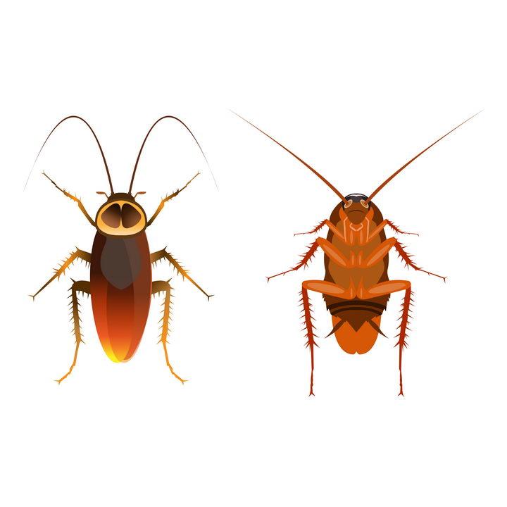 蟑螂的正面和反面害虫昆虫图片免抠矢量素材 生物自然-第1张