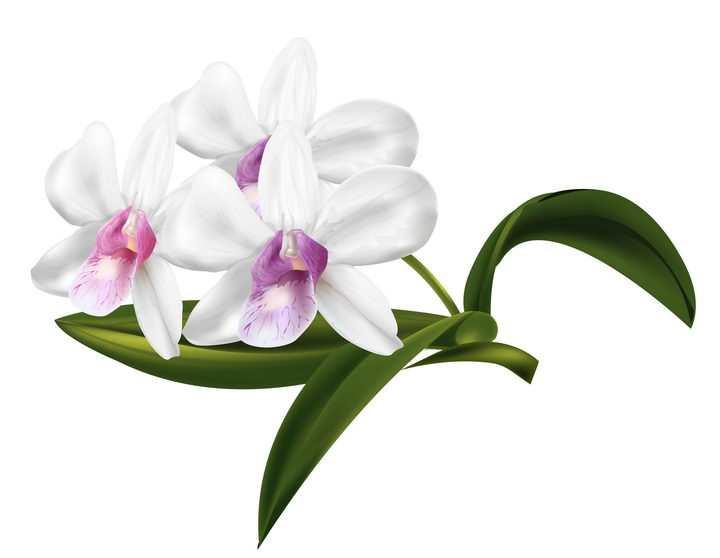 带有绿色叶子的白色蝴蝶兰花朵花卉图片免抠矢量素材