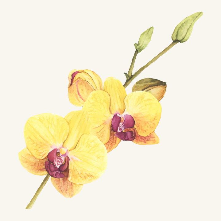 水彩画风格枝头上的黄色蝴蝶兰花朵花卉图片免抠矢量素材 生物自然-第1张