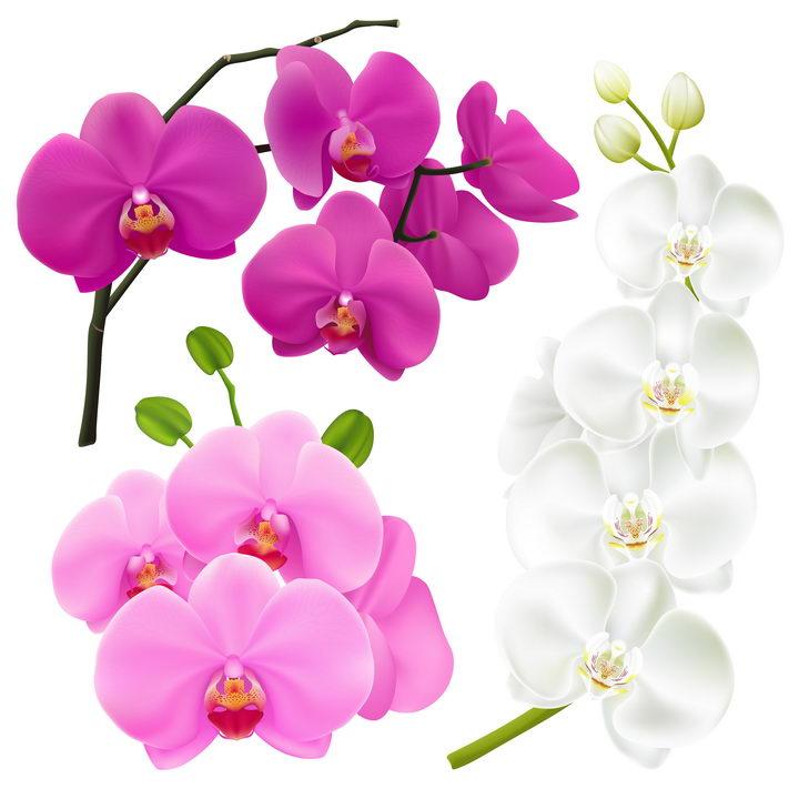 逼真的玫红色粉色和白色蝴蝶兰花朵花卉图片免抠矢量素材 生物自然-第1张