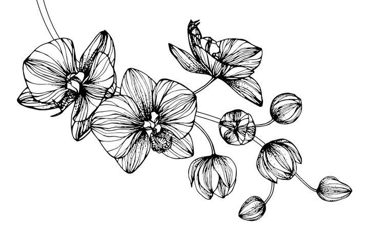 黑色手绘线条风格枝头上的蝴蝶兰花朵花卉图片免抠矢量素材 生物自然-第1张
