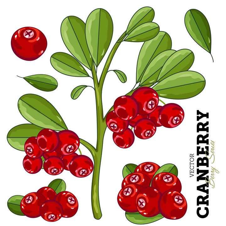 手绘长在枝头上的蔓越橘蔓越莓小红莓美味水果图片免抠矢量素材