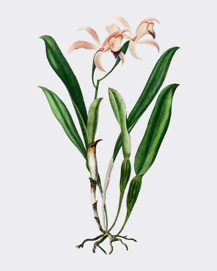 一株完整的水仙花植物图片免抠矢量素材