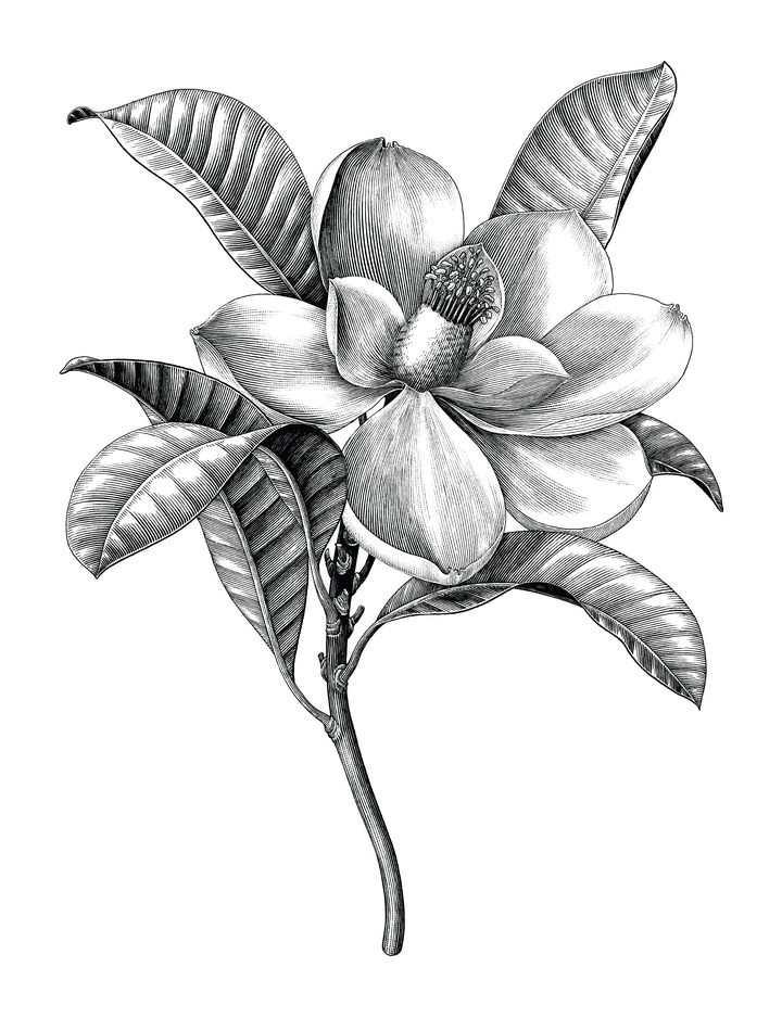 黑色手绘插画风格玉兰花花朵花卉图片免抠矢量图素材