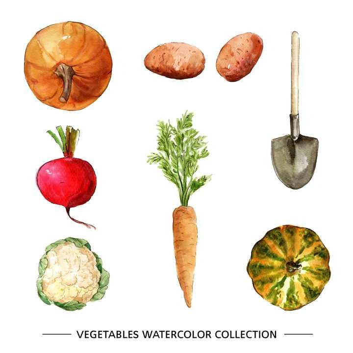 水彩画风格南瓜土豆萝卜花菜胡萝卜铁锹等蔬菜和种植工具图片免抠矢量素材
