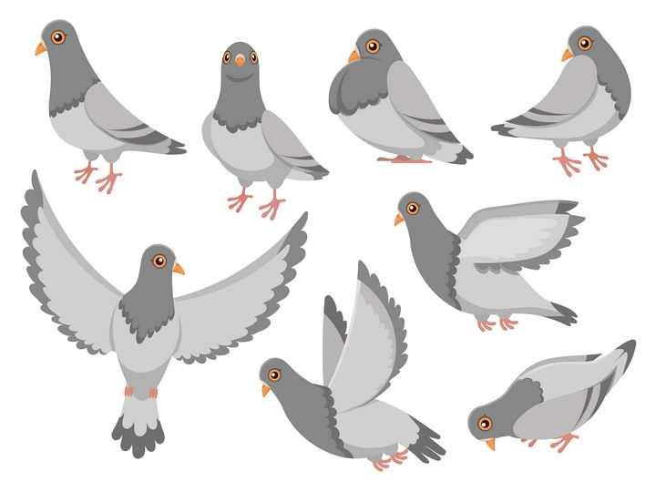 各种灰白色的鸽子鸟类图片免抠矢量图