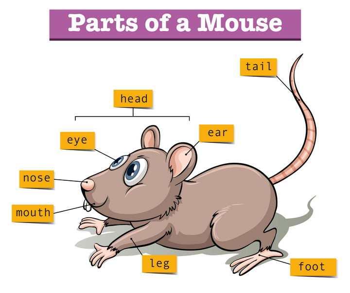 卡通老鼠身体部位英语教学配图图片免抠矢量图素材
