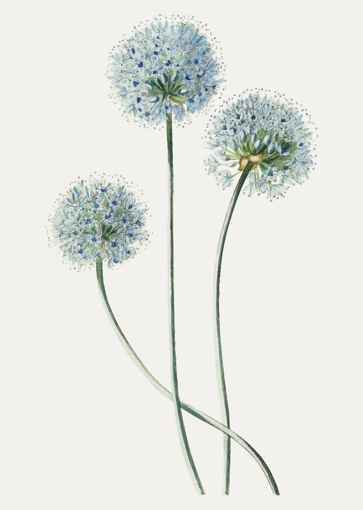 彩绘风格葱花植物葱开的花朵图片免抠矢量素材 生物自然-第1张