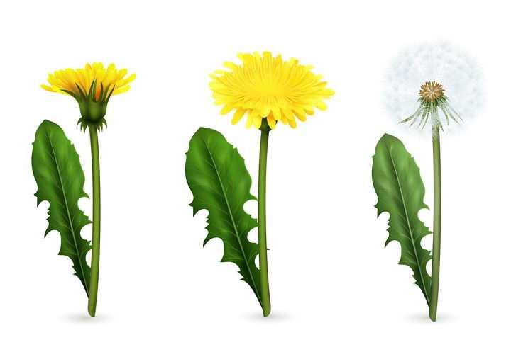 盛开的黄色蒲公英花朵和白色绒球植物图片免抠矢量素材