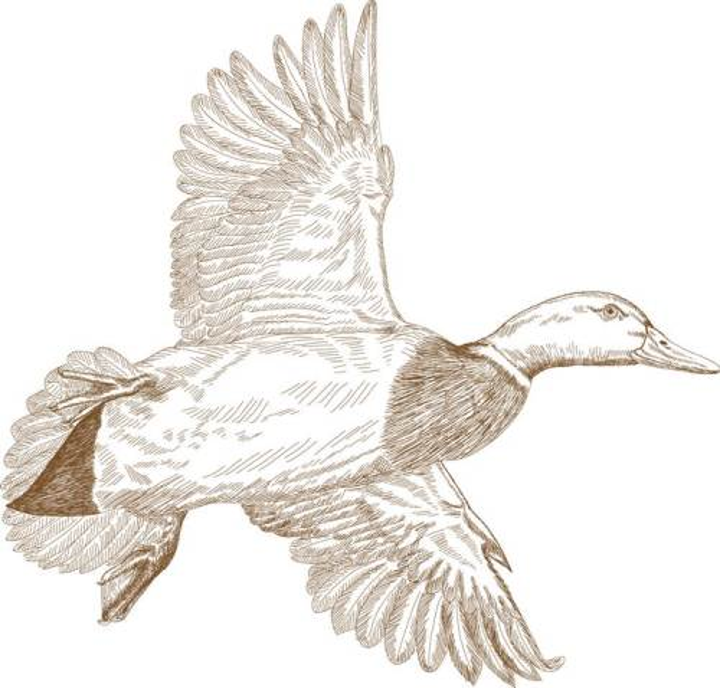 手绘插图风格野鸭图片免抠矢量图素材