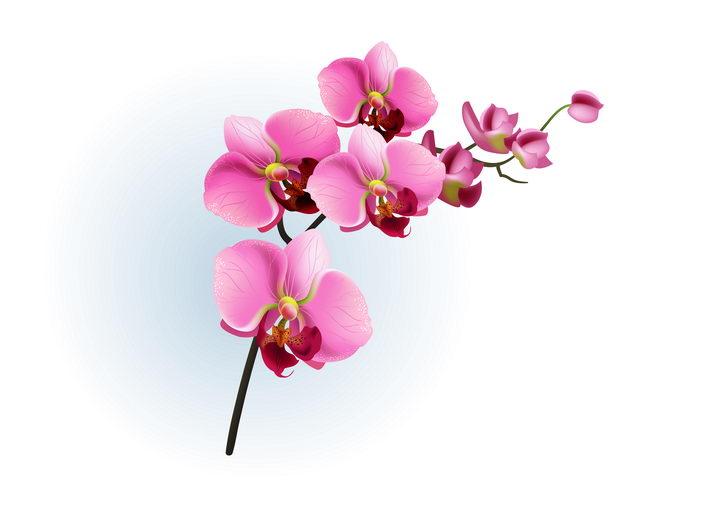 枝头上的玫红色蝴蝶兰花朵花卉图片免抠矢量素材 生物自然-第1张