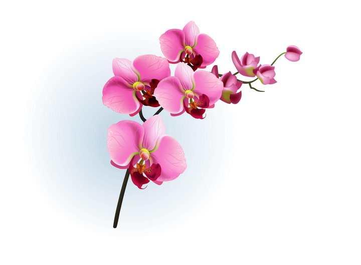 枝头上的玫红色蝴蝶兰花朵花卉图片免抠矢量素材
