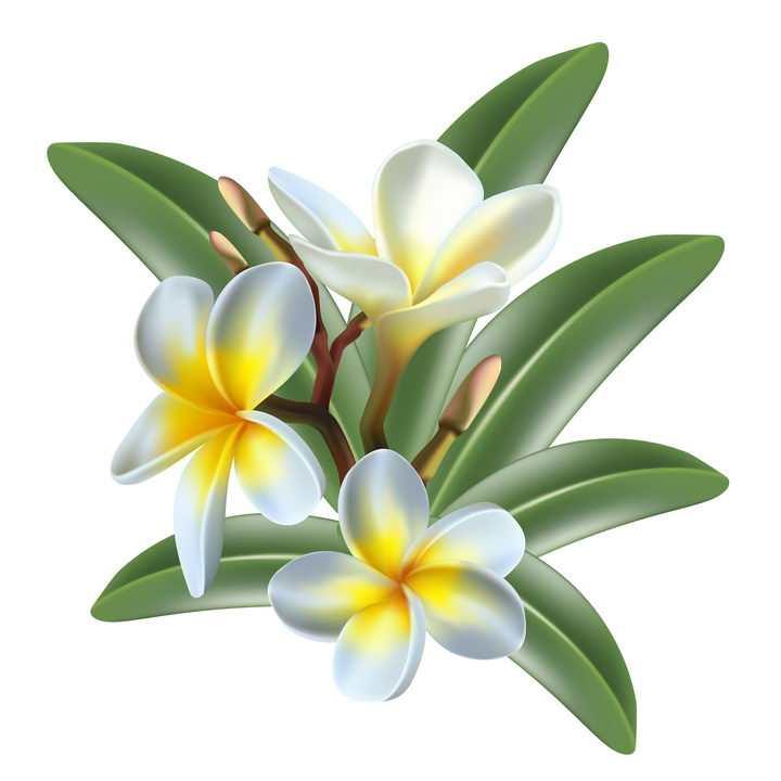 美丽的鸡蛋花花朵花卉鲜花图片免抠矢量素材