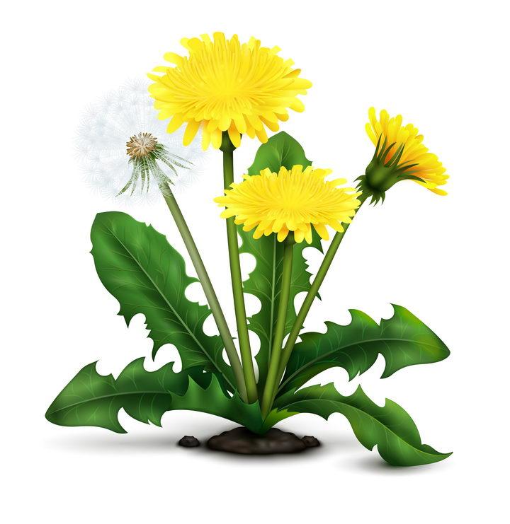 一株植物上的蒲公英花朵和绒球叶子图片免抠矢量素材