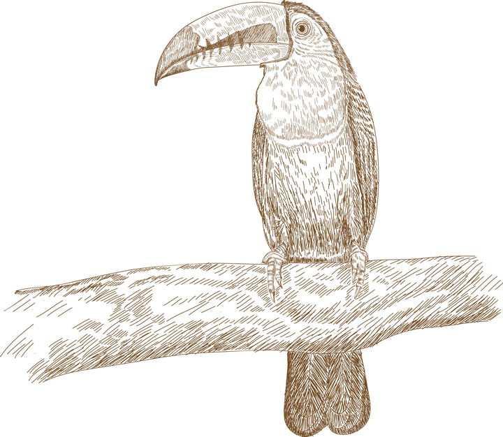 手绘插图风格巨嘴鸟图片免抠矢量图素材
