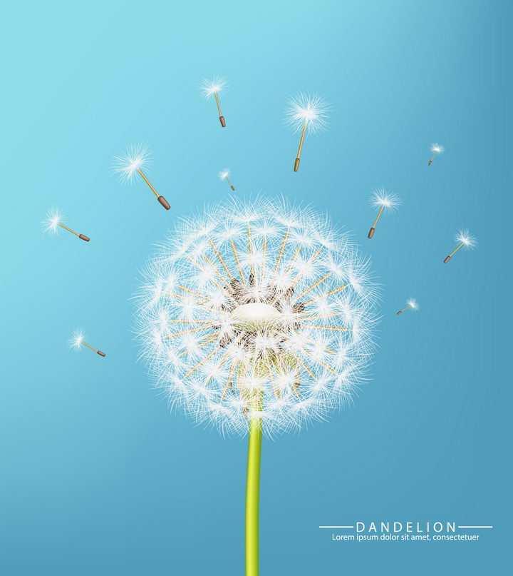 逼真的白色蒲公英花朵和飞舞的蒲公英花絮图片免抠矢量素材