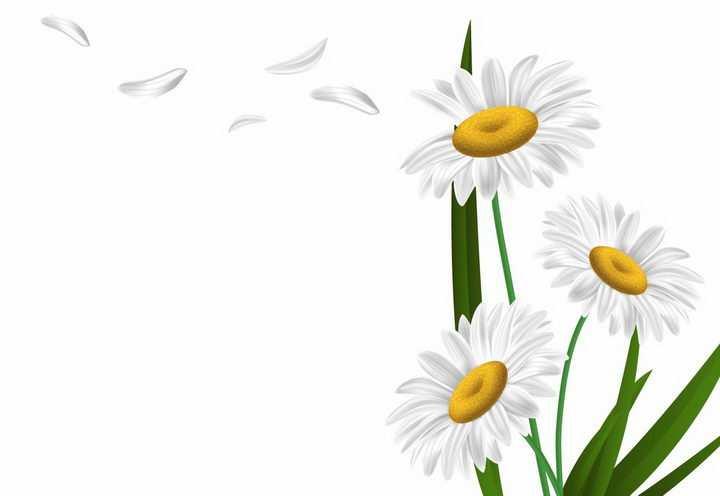飘落了白色花瓣的甘菊鲜花花朵花卉菊花png图片免抠eps矢量素材