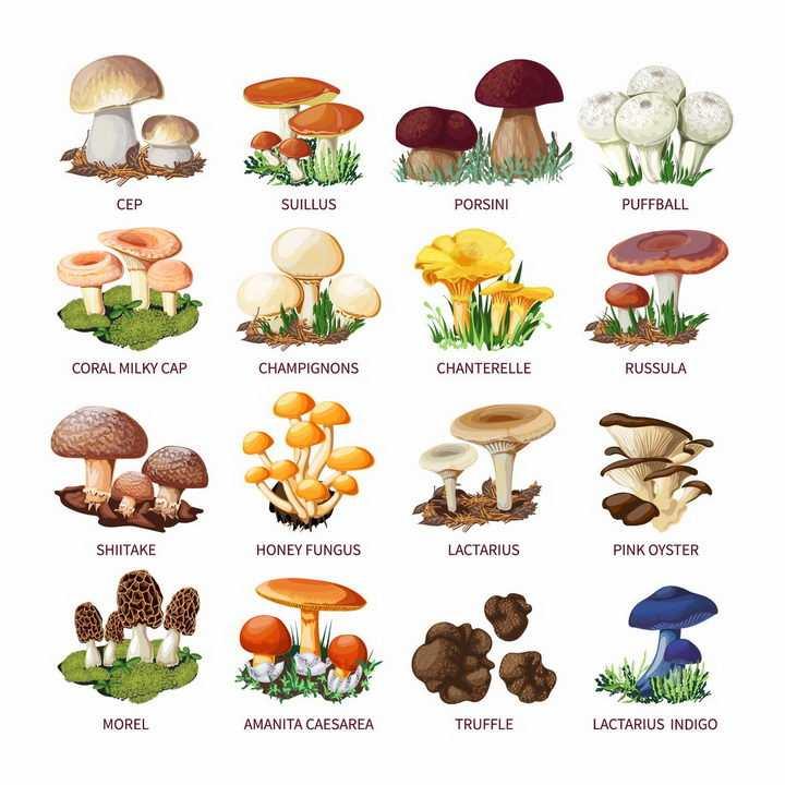 木耳平菇羊肚菌毒蝇伞大白口蘑松口蘑金针菇香菇等蘑菇美味美食png图片免抠矢量素材
