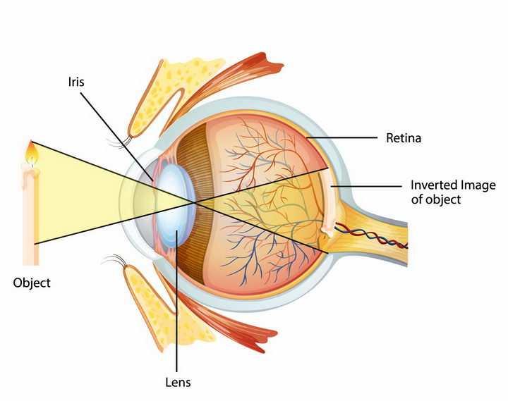 眼球解剖图眼睛的成像原理png图片免抠矢量素材