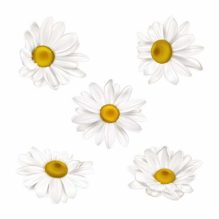 5款不同角度的白色花朵菊花甘菊鲜花花卉png图片免抠eps矢量素材