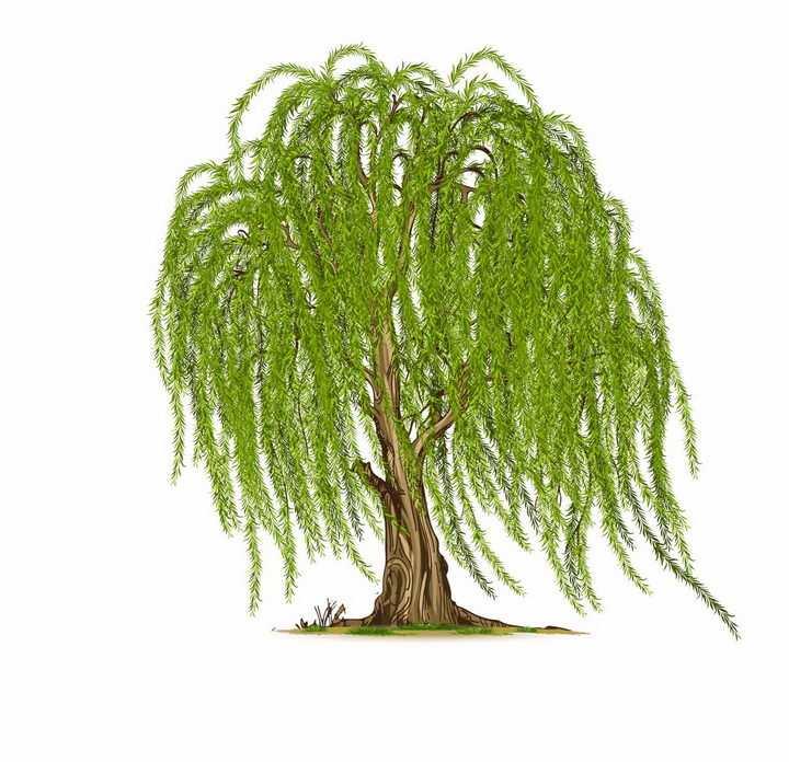 一棵随风飘扬的柳树大树png图片免抠矢量素材