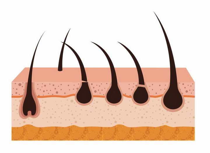 人体皮肤解剖图和皮肤上的毛发毛囊png图片免抠矢量素材