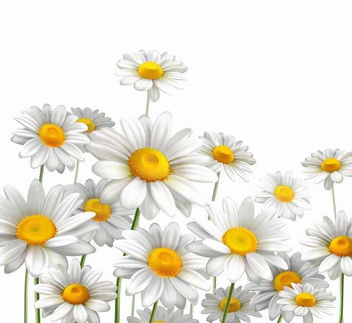 盛开的白色鲜花菊花甘菊花朵花卉png图片免抠eps矢量素材